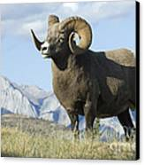 Rocky Mountain Big Horn Sheep Canvas Print by Bob Christopher