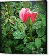 Rose And Rain Drops Canvas Print by Eva Thomas