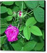Rose Bud Canvas Print by Michael Sokalski