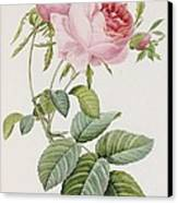 Rose Canvas Print by Pierre Joesph Redoute
