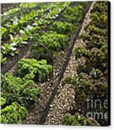 Rows Of Kale Canvas Print