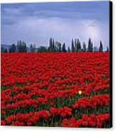 Rows Of Red Tulips With One Yellow Tulip  Canvas Print by Jim Corwin