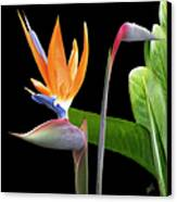Royal Beauty II - Bird Of Paradise Canvas Print by Ben and Raisa Gertsberg