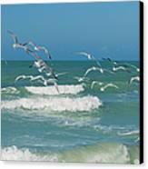 Royal Tern Frenzy Canvas Print by Kim Hojnacki
