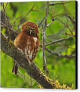 Rufous Morph Costa Rican Pygmy-owl Canvas Print by Tony Beck
