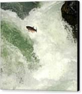 Salmon Run 5 Canvas Print by Mamie Gunning