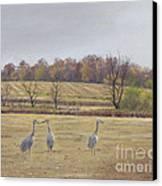 Sandhill Cranes Feeding In Field  Canvas Print by Jymme Golden
