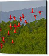 Scarlet Ibis Canvas Print by Tony Beck