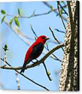 Scarlet Tanager Canvas Print by James Hammen