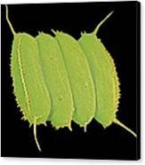 Scenedesmus Algae, Sem Canvas Print