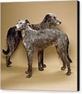 Scottish Deerhounds, Stuffed Specimens Canvas Print by Science Photo Library