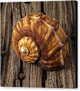Sea Snail Shell On Old Wood Canvas Print by Garry Gay