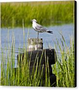 Seagull At Weeks Landing Canvas Print by Bill Cannon