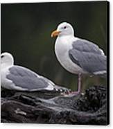 Seagulls Canvas Print by Gary Langley