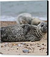 Seal Pup On Beach Canvas Print
