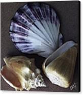 Seashells Spectacular No 30 Canvas Print