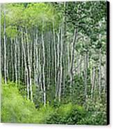 Seasons Of The Aspen Canvas Print by Carol Cavalaris