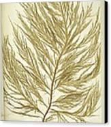 Seaweed (desmarestia Ligulata) Canvas Print by Science Photo Library