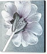 Sheradised Primula Canvas Print by John Edwards