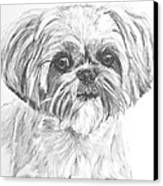 Shih Tzu Portrait In Charcoal Canvas Print by Kate Sumners