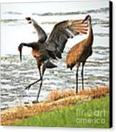 Showoff Canvas Print by Carol Groenen