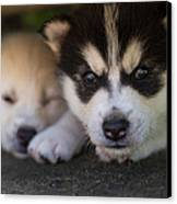 Siberian Husky Pups Canvas Print by Benita Walker