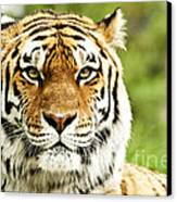 Siberian Tiger Beautiful Closeup Canvas Print