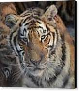 Siberian Tiger Canvas Print by Brett Geyer