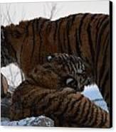 Siberian Tigers Canvas Print by Brett Geyer