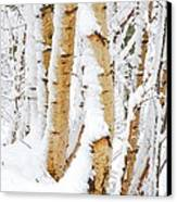 Snow Covered Birch Trees Canvas Print by John Kelly