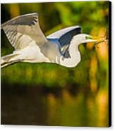 Snowy Egret Flying With A Branch Canvas Print by Andres Leon