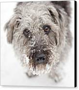 Snowy Faced Pup Canvas Print