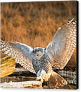 Snowy Owl - Bubo Scandiacus Canvas Print by Michael Russell