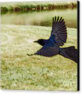 Soaring Boat-tailed Grackle - Glow Canvas Print