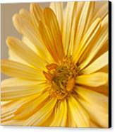 Soft Marigold Canvas Print by Anne Gilbert