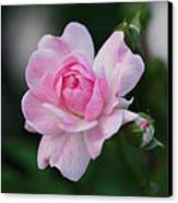 Soft Pink Miniature Rose Canvas Print by Rona Black