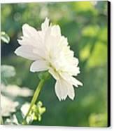 Soft White Dahlias Canvas Print by Cathie Tyler