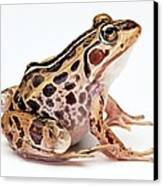 Spotted Dart Frog Canvas Print by Lanjee Chee