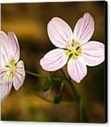 Spring Beauty Canvas Print by Thomas Pettengill