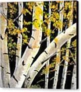 Spring Birch Canvas Print by Doreen Kirk
