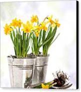 Spring Daffodils Canvas Print by Amanda And Christopher Elwell