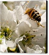 Spring Time Cherry Blossoms Canvas Print by Artist and Photographer Laura Wrede