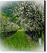 Springtime In The Orchard Canvas Print by Bill Gallagher