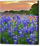 Springtime Sunset In Texas - Texas Bluebonnet Wildflowers Landscape Flowers Paintbrush Canvas Print by Jon Holiday