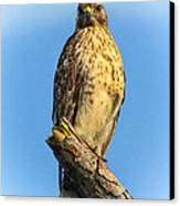 Stately Red-shouldered Hawk Canvas Print by Barbara Bowen