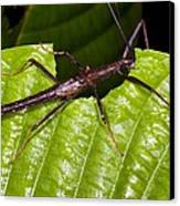 Stick Insect Feeding On A Leaf Canvas Print by Science Photo Library