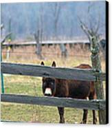 Stubborn As A Mule Canvas Print by Rhonda Humphreys