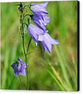 Summer Flowering Harebell Canvas Print