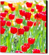 Sun Drenched Tulips - Featured 3 Canvas Print by Alexander Senin