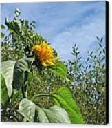 Sunflower Bloom Canvas Print